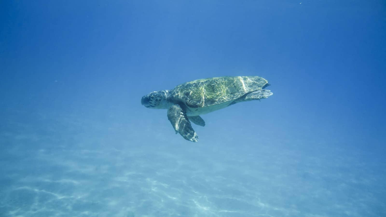 Zante tartaruga