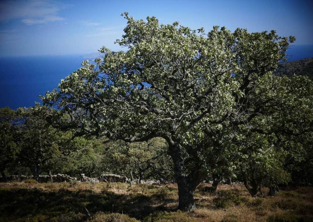 quercia kea